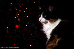 DSC_5187_HDR (Pascal Rey Photographies) Tags: aurorahdr luminar2018 skylum chat chatte cat katze gato gatto animaux animalerie animals animales animali photographieanimalère lights shadowlight lumières ombrelumière fêtes fiesta feast party pascalrey nikon d700 pascalreyphotographies photographiecontemporaine photographie photography photograffik photographiedigitale photographienumérique photographieurbaine