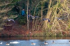 IMG_0313195 (Ashley Middleton Photography) Tags: coatewatercountrypark swindon animal bird canadagoose england europe goosegeese unitedkingdom wiltshire