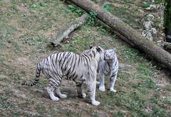 calin (balese13) Tags: 1855mm beauval d5000 loiretcher saintaignan blanc calin nikon tigre zoo 50100fav 500v20f