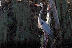 Great Blue Heron (Wonder Woman !) Tags: greatblueheron cbbr circlebbarreserve bird heron swamp lakelandflorida ngc