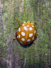 Orange Ladybird, Gelt Woods, 26 December 18 (gillean55) Tags: canon powershot sx60 hs superzoom bridge camera north cumbria brampton geltwoods coleoptera coccinellidae orangeladybird halyziasedecimguttata