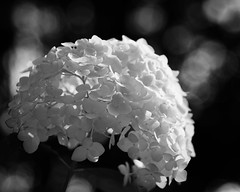 Summer Days Are Gone... (HW111) Tags: bw blackandwhite bokeh flowers monochrome monochromebokehthursday snowballbush summer