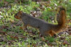 FOX SQUIRREL 15 (k.nanney) Tags: easternfoxsquirrel foxsquirrel sciurusniger squirrel texasmammals texaswildlife irving texas tx dallascounty townlakepark nikon d800 tamronsp150600mmf563divcusd kennethnanney kennanney nanney