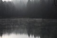 two swans (Mindaugas Buivydas) Tags: lietuva lithuania color autumn fall november morning morninglight fog mist lake balsis verkiųmiškas verkiaiforest verkiųregioninisparkas verkiairegionalpark bird birds swan mindaugasbuivydas