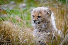 Cheetah cub (Mathias Appel) Tags: cheetah gepard big cat katze raubtier predator cub cubs junges jung young baby feline zoo tierpark kätzchen kitten kittens nikon d7100