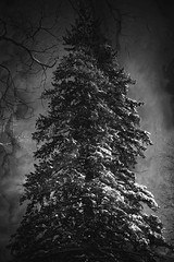 Fresh Snow (Dave Linscheid) Tags: tree winter snow cold evergreen texture textured blackandwhite picmonkey butterfield watonwancounty mn minnesota usa