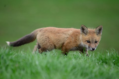 DSC_2799.jpg=041613 (laurie.mccarty) Tags: animal fox redfox nature bokeh green wildlife