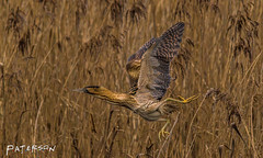 Bittern in Flight (ianpaterson1) Tags: bittern gosforth park nature reserve northumberland