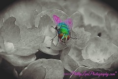 Mosquito Splash (PhillipLuisPhotography) Tags: art colorsplash fly insects