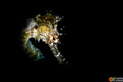 _B5A6755_bis_sea horse_ (azotati2011) Tags: blacksand indonesia kalinaunresort pronimarunderwaterhousing canon7dmii macro