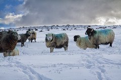 Fashionable blue (Christian Hacker) Tags: belstone winter snowy snow sheep herd farmanimals animal snowcovered tracks wooly devon uk dartmoor nationalpark clouds hillside horns horned canon eos50d tamron 1750mm landscape cute