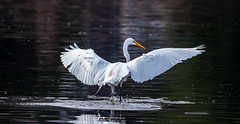 Spread Your Wings (Kerstin Winters Photography) Tags: egret california bird water