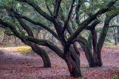 "The Dance of the Live Oaks (ByTheChesapeakeBay) Tags: bracketing ""benrotravelangeltripod"" fujixt2 fujixf55200 luminar3 aurorahdr liveoaktrees beautyincreation"