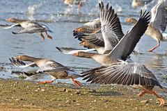 """time to go"" (42jph) Tags: nikon d7200 sigma 150500 holywell uk england northumberland pond water goose geese greylag bird wildlife nature flight takeoff action splash"