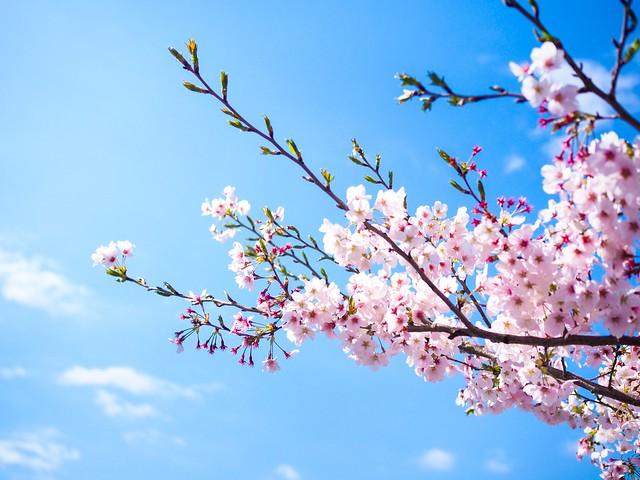 Обои небо, ветки, весна, сакура, цветение, pink, blossom, sakura, cherry, spring, bloom картинки на рабочий стол, раздел цветы - скачать
