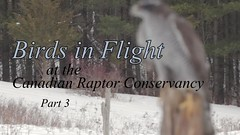 Birds in Flight at CRC - Section 3 (rumimume) Tags: rumimume 2019 niagara ontario canada photo canon 80d video sigma bird raptor flight feather talon canadianraptorconservancy winter snow cold people photographer