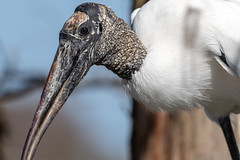 Sometimes 500mm is too much lens (tspine) Tags: gatorland woodstork