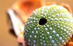 Sea Urchin (dianne_stankiewicz) Tags: macromondays macro nature hmm hole holes urchin seaurchin