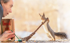 Red squirrel holding a broom with a man looking (Geert Weggen) Tags: squirrel red animal backgrounds bright cheerful close color concepts conservation culinary cute damage day earth environment environmental equipment love winter snow photo acorn nut food tree homeless roofless houseless garbagecan garbage broom person human man bispgården jämtland sweden geert weggen hardeko ragunda
