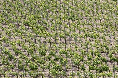 Vignoble (just.Luc) Tags: vineyard vignoble wijngaard weinberg saintémilion gironde nouvelleaquitaine france frankrijk frankreich francia frança europa europe green groen vert grün verde