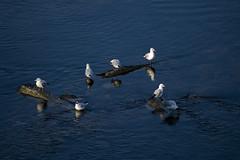 bird (revoli photo) Tags: lyon slack slackline bateau soane rhone parc song city sun bird