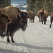 Winter Bison Jam - Yellowstone