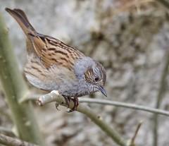 Dunnock (Alan McCluskie) Tags: dunnock accentors prunellamodularis woodlandbird farmlandbirds gardenbird oiseaux aves birds sigma150600mmsp canon7dmk2 nature wildlife