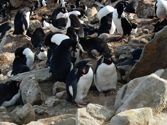 Rock Hopper Penguins, New Island, Falkland Islands (Mulligan Stu) Tags: rockhopperpenguins newisland falklandislands