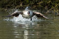 SK5_7882 (glidergoth) Tags: birds britishbirds stalbans canadagoose brantacanadensis