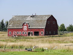 Farm with sheep and a donkey (annkelliott) Tags: calgary alberta canada neofcalgary pioneeracrestrip building barn old weathered red windows shingles fallencupola grass field fence shed trees sky donkey sheep outdoor summer 5september2017 fz1000 panasonic lumix annkelliott anneelliott ©anneelliott2017 ©allrightsreserved