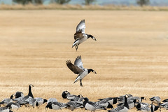Settling Barnacle Geese (Steve (Hooky) Waddingham) Tags: stevenwaddinghamphotography animal countryside coast bird british nature northumberland wild wildlife wader wildfowl planet