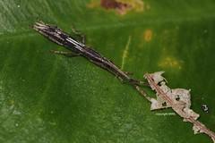 Cat Tien Brentidae (?) (Phil Arachno) Tags: vietnam nationalpark cat tien brentidae langkäfer curculionoidea coleoptera arthropoda insecta