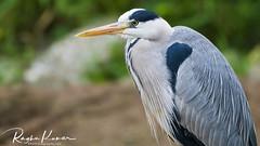 Grey Heron (rvk82) Tags: 2018 animals animalsbirds england june june2018 london londonzoo nikkor200500mm nikon nikond850 rvk rvkphotography raghukumar raghukumarphotography wildlife zsl zsllondonzoo zoo rvkonlinecom rvkphotographycom rvkphotographynet unitedkingdom gb