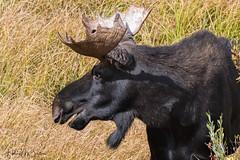 _0HM6012 (Hilary Bralove) Tags: bullmoose moose grandtetons tetons wyoming grandtetonnationalpark landscape wildlife