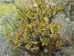 Tylecodon paniculatus - east of de rust, south africa
