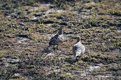 Chestnut-bellied sandgrouse at Ndutu in the Ngorongoro Conservation Area (inyathi) Tags: eastafrica tanzania africananimals africanbirds chestnutbelliedsandgrouse pteroclesexustus sandgrouse ndutu ngorongoroconservationarea nca serengeti africanwildlife nationalpark africa birds