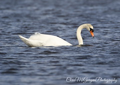 Such a beautiful Bird (chrismcg40) Tags: canon7dmarkii canon canon100400 canoneos canon100400lis swan mute water nature inchwildfowlreserve wildlife ireland countydonegal white irishwildlife wildfowl