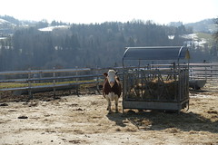 Cow @ Farm @ Hike to Croix des Esparzales @ Thorens-Glières (*_*) Tags: 2019 winter hiver february sunny europe france hautesavoie 74 savoie filliere thorensglieres thorens hiking mountain montagne nature randonnée trail walk marche cow abondance cattle afternoon
