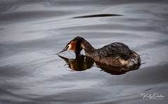 🇬🇧 Great crested grebe (vickyouten) Tags: greatcrestedgrebes grebes grebe nature naturephotography wildlife britishwildlife wildlifephotography nikon nikond7200 nikonphotography nikkor55300mm carrmilldam sthelens uk vickyouten