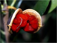 Abertura de frutos silvestres (Esteban OF) Tags: nature garden jardín parque invierno rojos frutos silvestres omd
