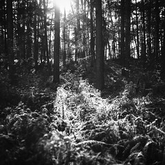 Be:lichtung (chipsmitmayo) Tags: mamiya c330 sekor 80mm f28 rollei rpx 25 film analog analogue 120 6x6 rollfilm medium format mittelformat square quadrat münsterland bockholter berge wald nsg schwarzweiss blackandwhite natur sonne winter frost