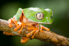 Phyllomedusa tomopterna [Tiger Leg Monkey Frog] (kkchome) Tags: herping herp herpetology amphibian monkey frog treefrog phyllomedusa tomopterna tiger leg mazán loreto peru amazon amazonas wildlife fauna nature