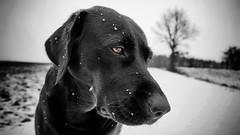 not amused (uwe.kast) Tags: labrador labradorretriever labradorredriver hund haustier dog bichou black colorkey panasonic lumix g9 leica leicadg1260f2840