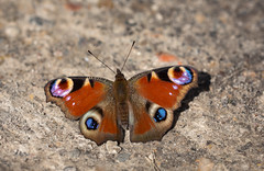 Eyes (music_man800) Tags: aglais io peacock butterfly butterflies insect lepidoptera wildlife nature natural light sun sunny flora fauna outdoors outside path basking spring march warm hot shadow eyes hibernated emerge early uk united kingdom essex hadleigh southend belfairs woods wood reserve nr woodland forest track floor red blue purple bright pretty beautiful canon 700d adobe lightroom creative cloud edit photography sigma 150mm macro lens prime sharp focus arty