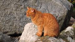 2017-10-18 Redheaded... (beranekp) Tags: czech teplice teplitz botanik botanic garden garten cat katze fauna redheaded
