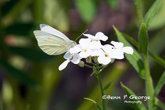 SMALL-WHITE-BUTTERFLY-27-5-18-RSPB-STRUMPSHAW-FEN-(2) (Benn P George Photography) Tags: rspbstrumpshawfen 27518 bennpgeorgephotography rspb waspbeetle scarcechacer dragonfly chacer coot azure damselfly orangetip butterfly peacock smallwhite nature wildlife norfolk broads nikond7100 nikon200500