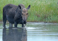 Moose...#8 (Guy Lichter Photography - 4.7M views Thank you) Tags: canon 5d3 canada manitoba rmnp wildlife animal animals mammal mammals moose