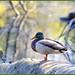 Chill Duck