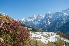 spring is coming (peter-goettlich) Tags: spring flowers mountain mountains austria zahmerkaiser wilderkaiser kaisergebirge kaiser kufstein tirol blumen berge schnee berg snow wandern hiking heidekraut erika