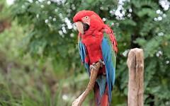 Zoo de la Palmyre (claude 22) Tags: zoo animal animaux sauvages wild france oiseau bird perroquet parrot lapalmyre